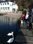 Feeding the swans