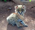 Another picture of a cutie Serval kitten - posted on Facebook by Tongole Wilderness Lodge