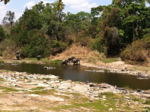 Elephants coming down the river towards the lodge - a picture that would have been better with a zoom lens!